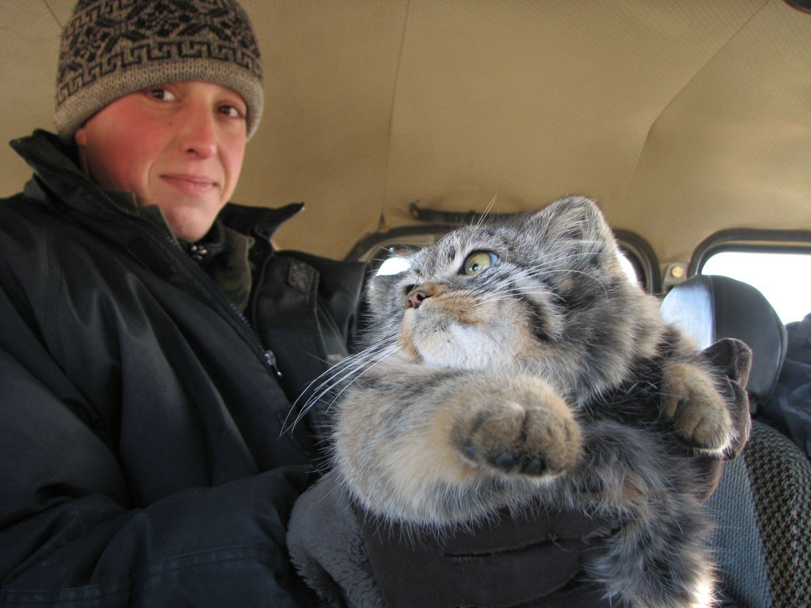 Hunting caused a major decline in manul cats' population